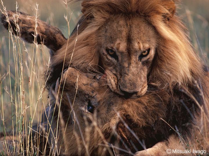 イソップ寓話 獅子の分け前: 暇...